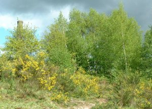 Broom and Silver Birch